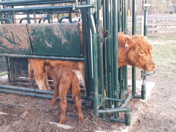 Redtail Farm cow calf
