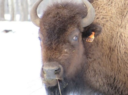 First Nature Farms bison