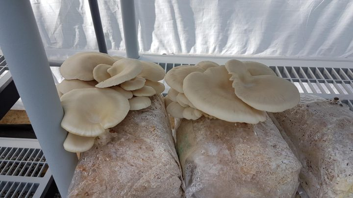 Growing edible mushrooms