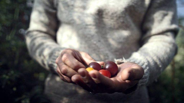 coabc, organic, vernon, hands holding tomatoes