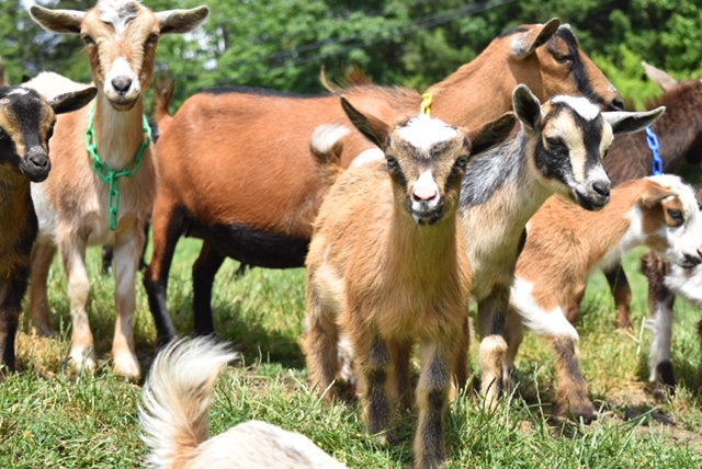 goats, yellow point farms, ladysmith bc, farm jobs