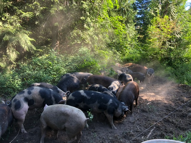 pigs in forest, Fresh Valley Farms, farm job, Armstrong bc