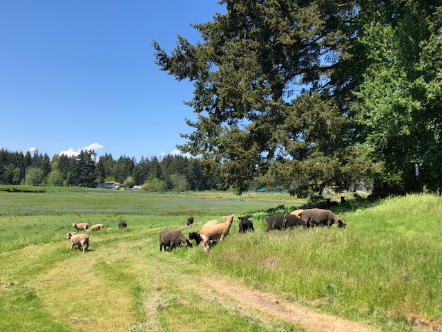 goats in pasture, yellow point farms, ladysmith bc, farm jobs
