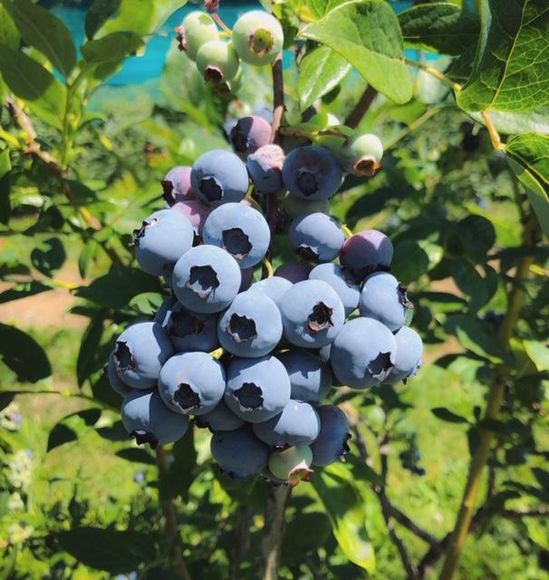 blueberry cluster, yellow point farms, ladysmith bc, farm jobs
