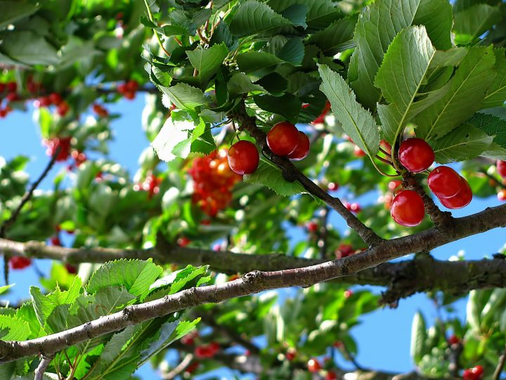 increase fruit tree production