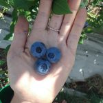 FARM JOB: VICTORIA, BC – Northstar Organics, Blueberry Harvester