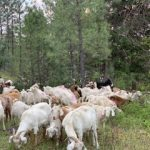 FARM JOB: LUMBY, BC – BC Timber Goats, Goat Supervisor/Herder