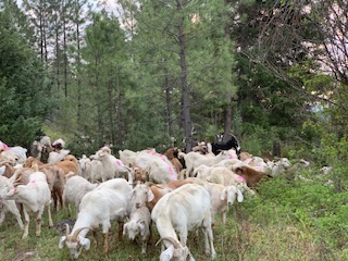 bc timber goats, lumby, farm job