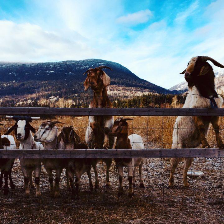 Goats in Pass Creek