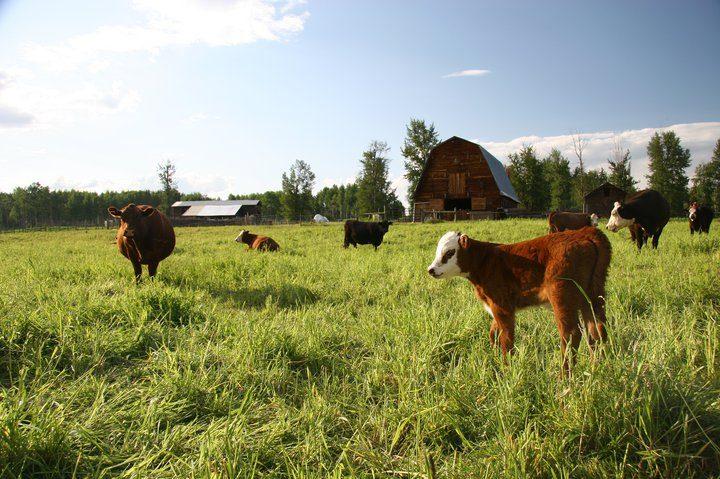 barn cows