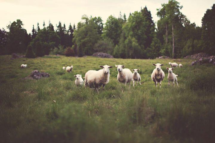 sheep-336474_960_720