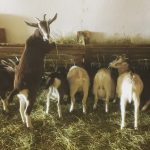 FARM JOB: ACME, AB – APPRENTICE GOATHERD, DANCING GOATS FARM