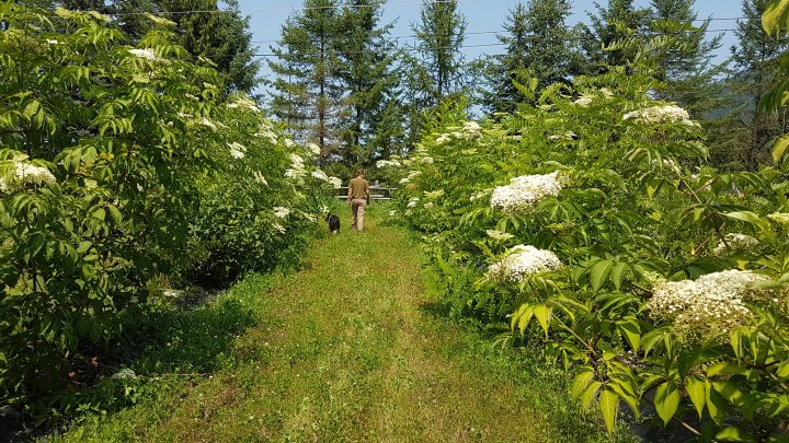 Elderberry hedge at Elderberry Grove 2019