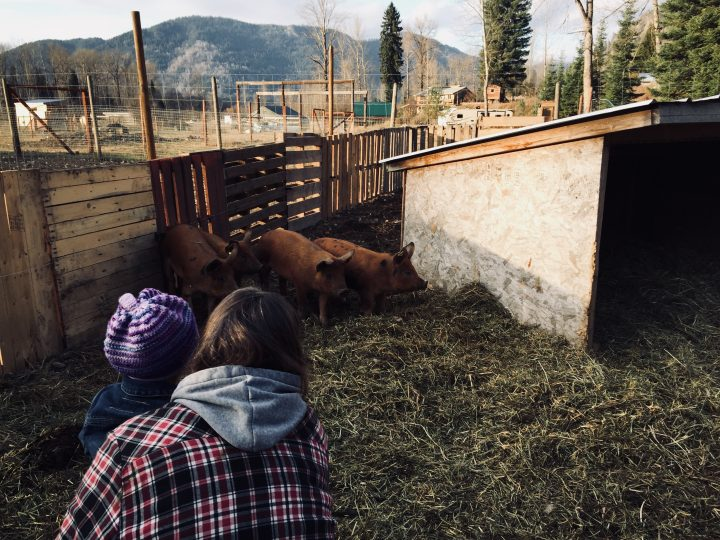 The pigs of Forrest Farm