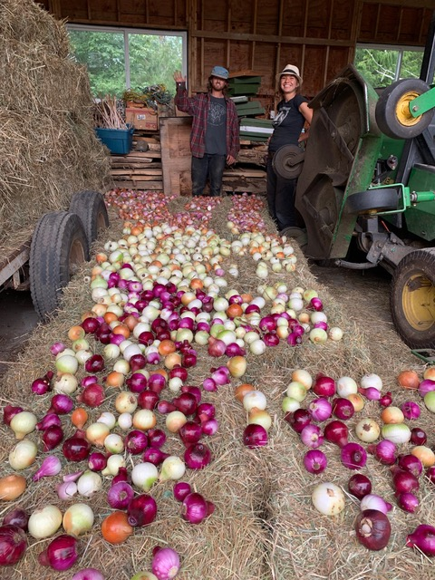 onion harvest, Laughing apple farm, salt spring island, apprenticeship