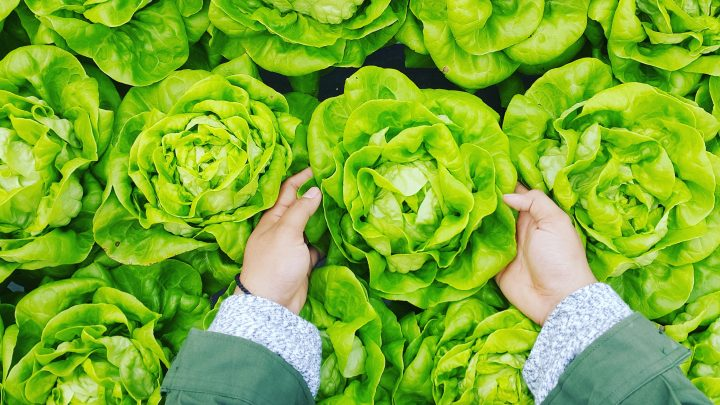 hands with lettuce, ubc farm management survey