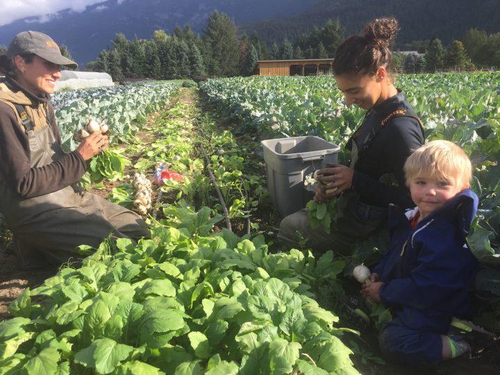 Plenty Wild Harvesting Turnips