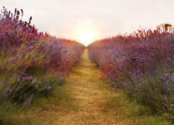 lavender-2706911_960_720