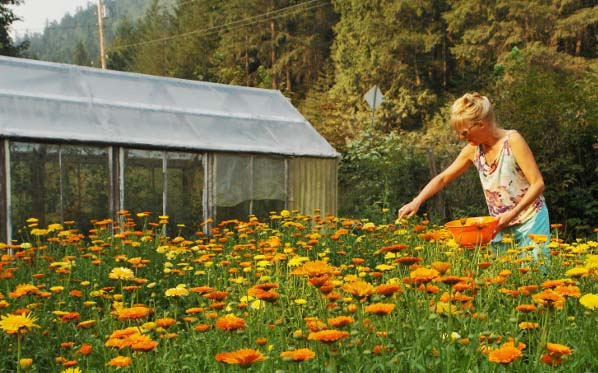 calendula picking, kinsol valley farm, duncan, cowichan valley, farm job