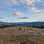BC Timber Goats Find New Home on Leased Land in Quesnel, BC
