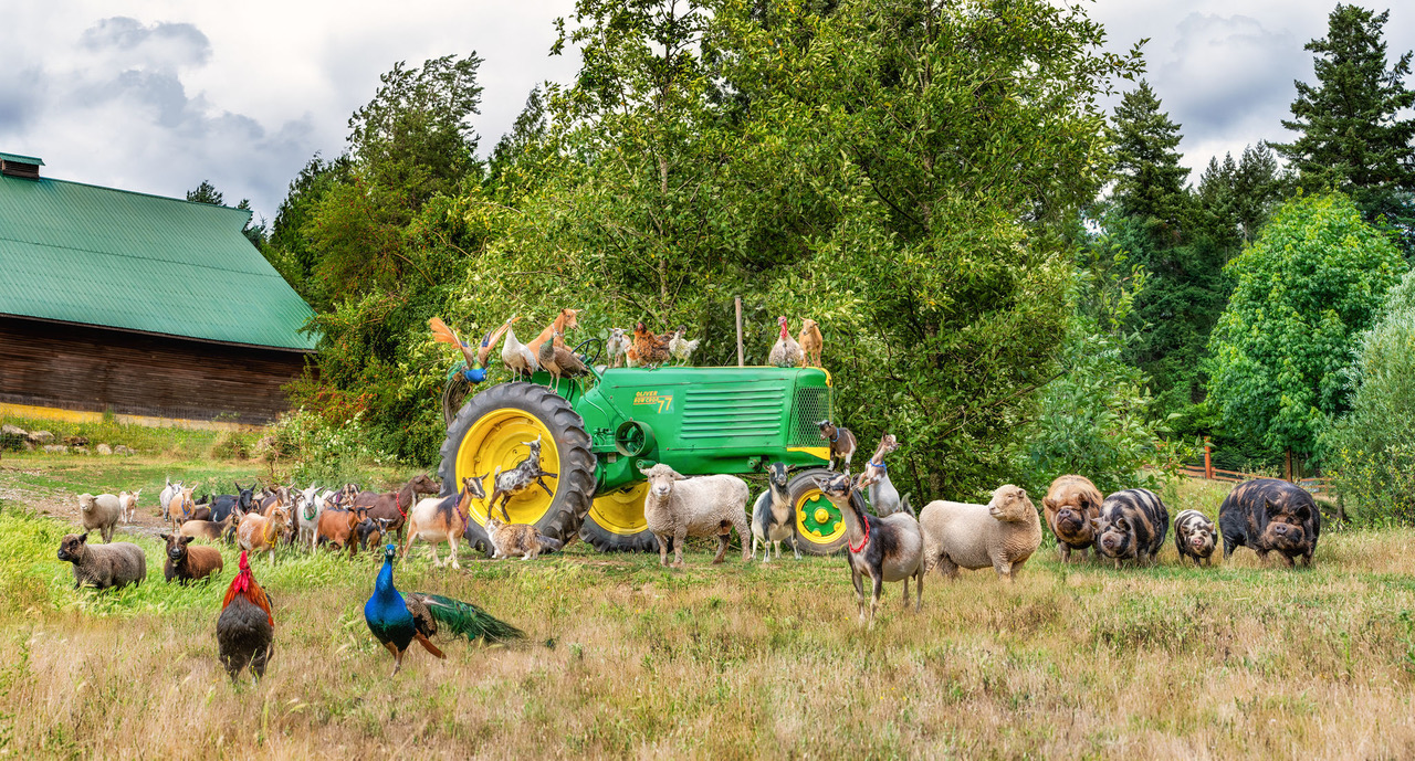 animals at yellow point farm job ladysmith vancouver island young agrarians