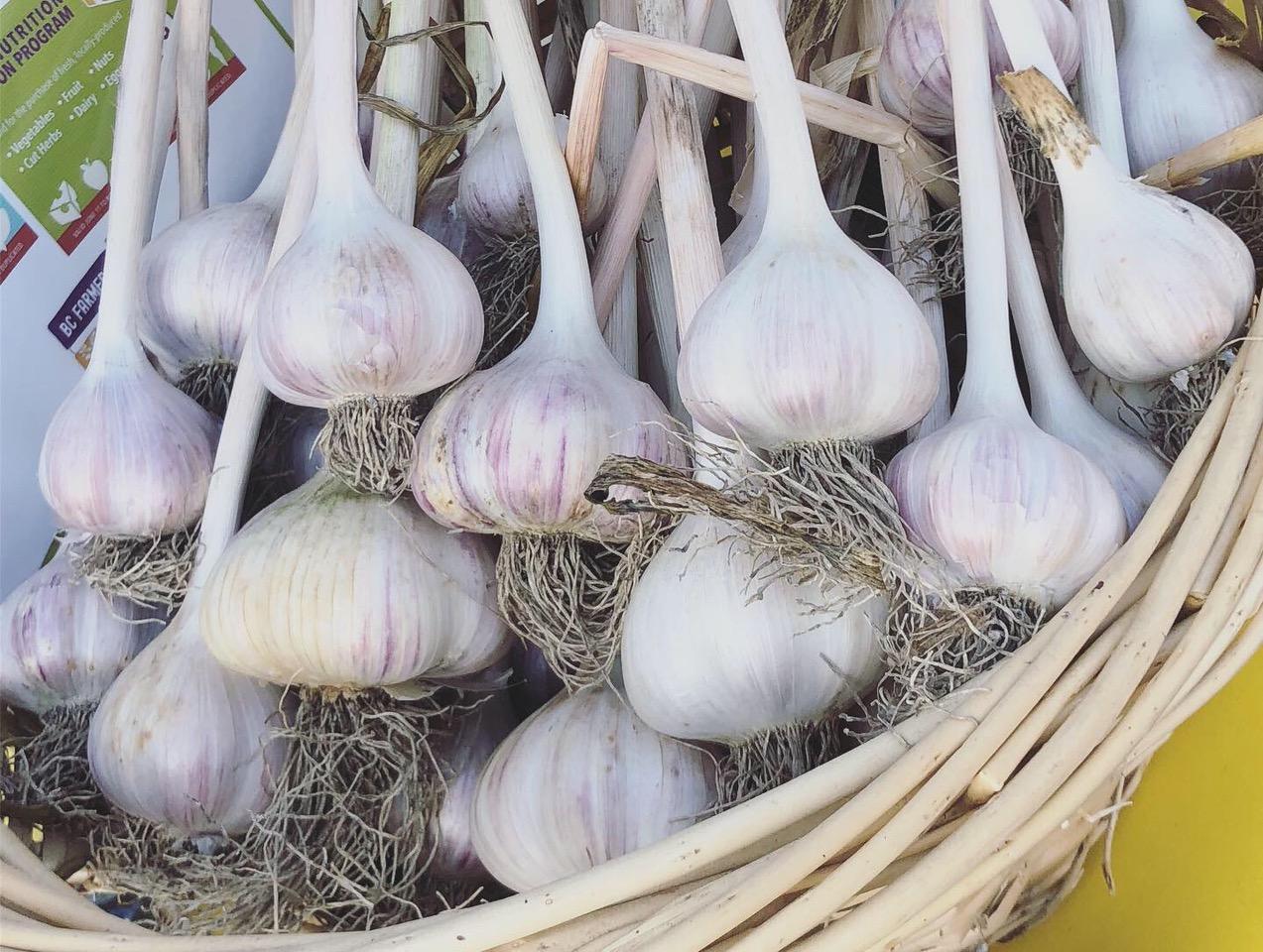 garlic at yellow point farm job ladysmith vancouver island young agrarians