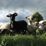 FARM JOB: Wakefield, QC – Rock's End Farm, Organic Farm Worker – Grazing Assistant
