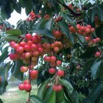 LAND OPPORTUNITY: 4 acre Organic Cherry Orchard for Lease