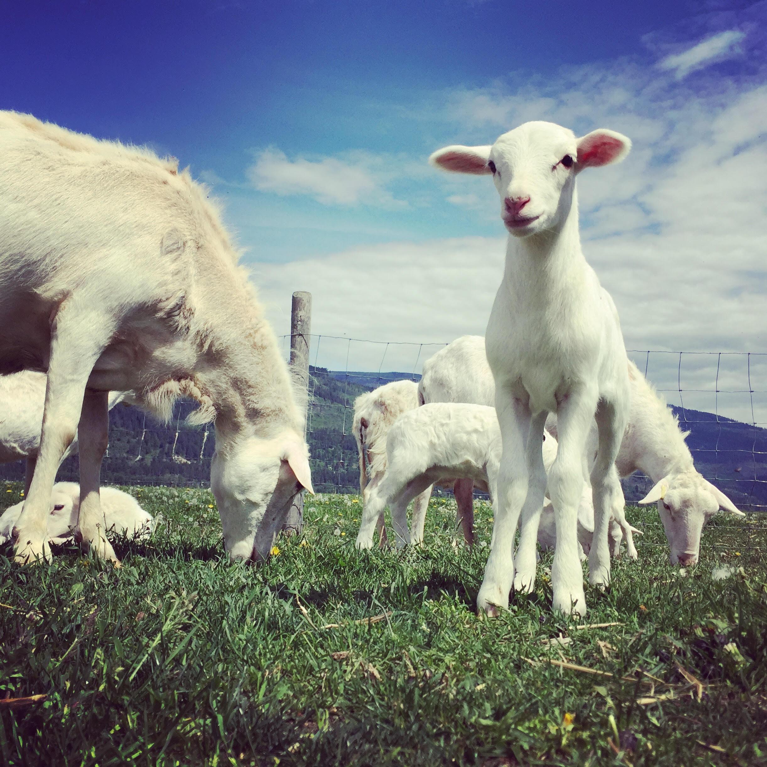 Goat River Farms job creston lamb