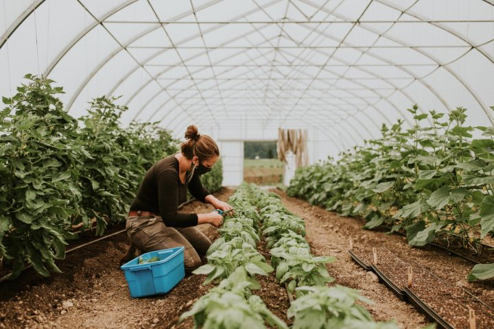 field house farm jobs young agrarians, basil greenhouse