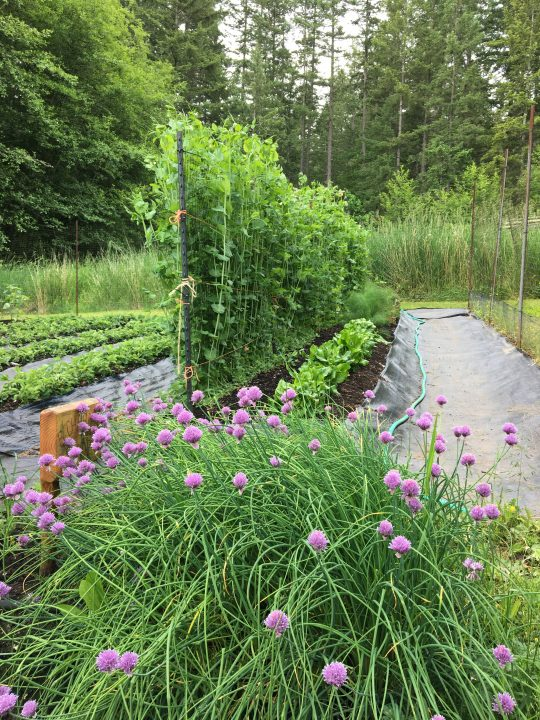 rebeccas garden peas and lettuce