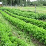 LAND OPPORTUNITY: Market Garden opportunity at Snowshoe Creek Organics, Robson Valley BC