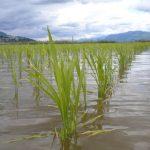 FARM JOB: Abbotsford, BC- ASM RICE FARM, RICE FARM HAND