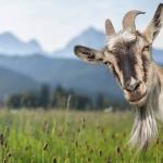 FARM JOB: Beaver Mines, Alberta – Grazing Hand at Goats for Weeds