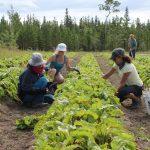 FARM JOB: Whitehorse, Yukon – Sundog Veggies, Field Operations Manager